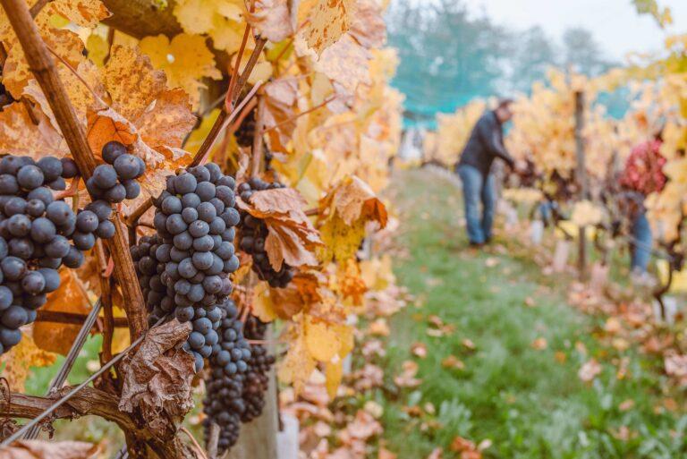 grape picking jobs in france