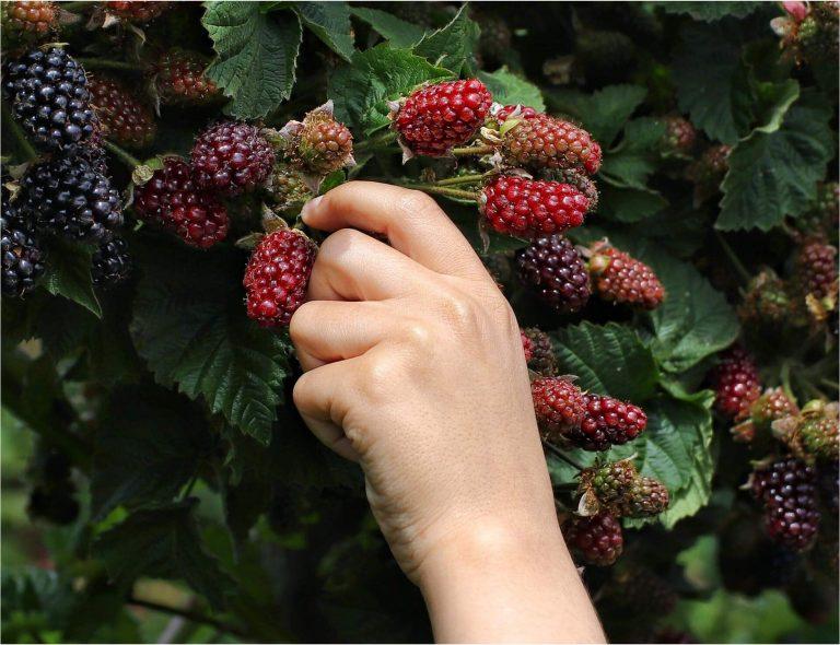fruit picking jobs perth